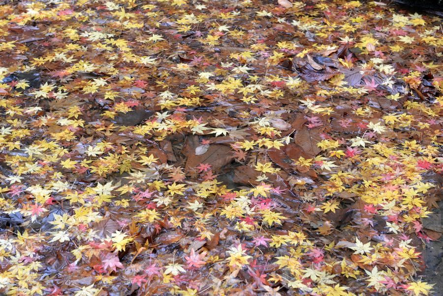公園の落ち葉-3