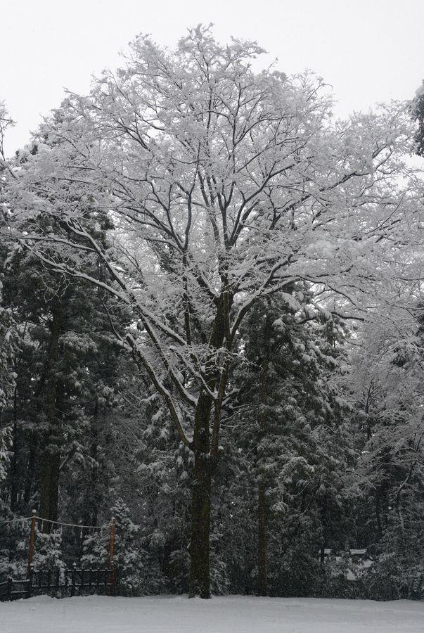 雪と樹-5