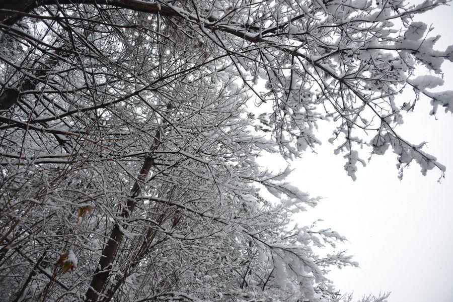 雪と樹-6
