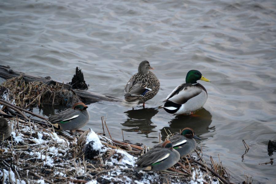 鴨と白鳥-1