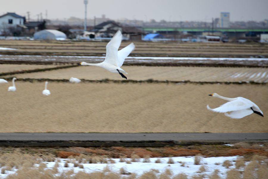 鴨と白鳥-4