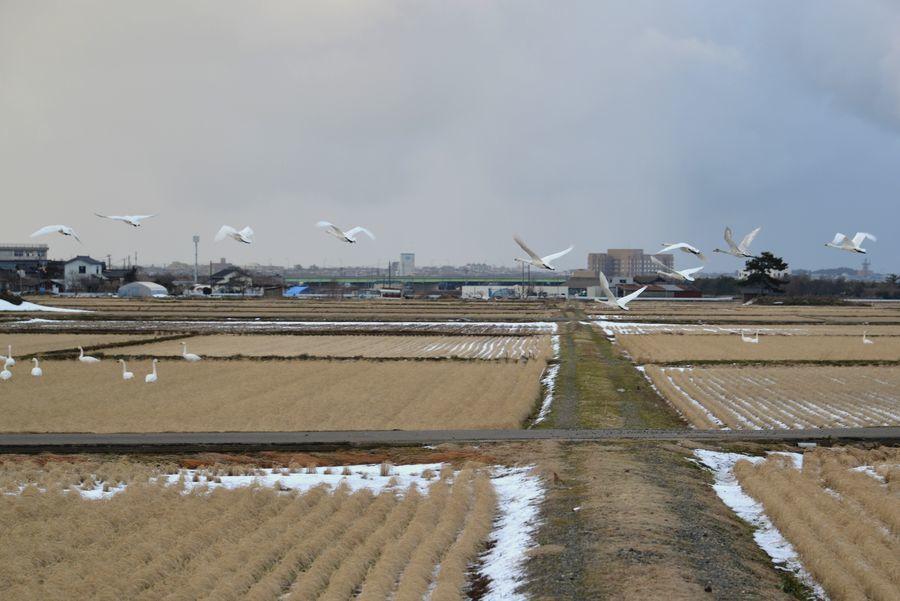 鴨と白鳥-5