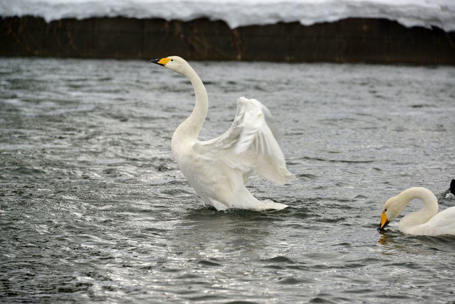 白鳥の舞い-1