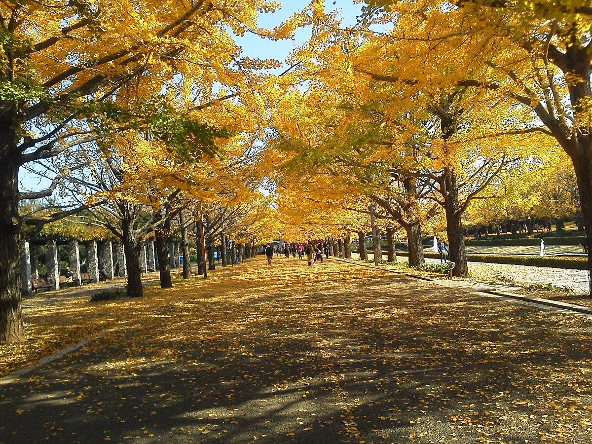 F1001072昭和記念公園11/18イチョウ並木