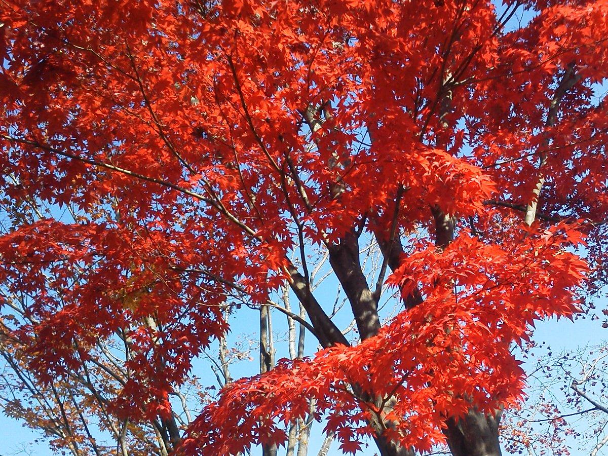 F1001047昭和記念公園11/18紅葉の日本庭園