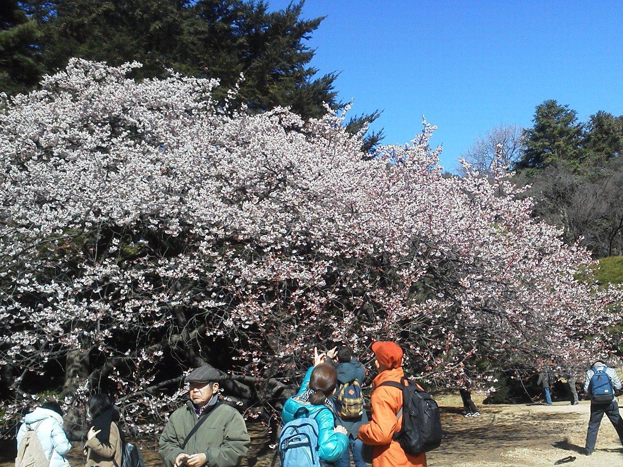 F1000190新宿御苑寒桜