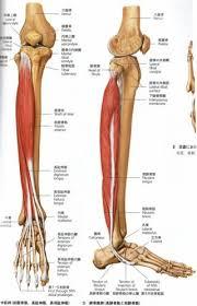 福島県郡山市にある大竹茂足もみ整体院_膝下の骨格図