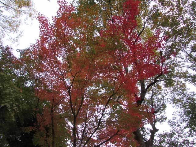 色づきはじめた紅葉