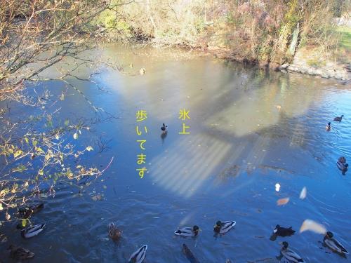 池が一部凍ってる