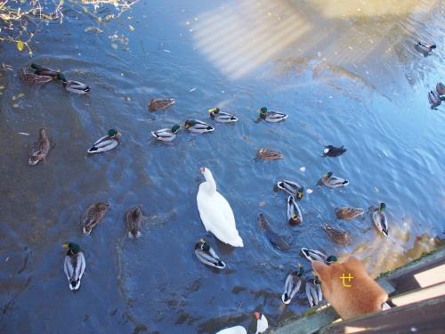 白鳥と鴨うようよ