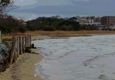 浜辺のカモたち