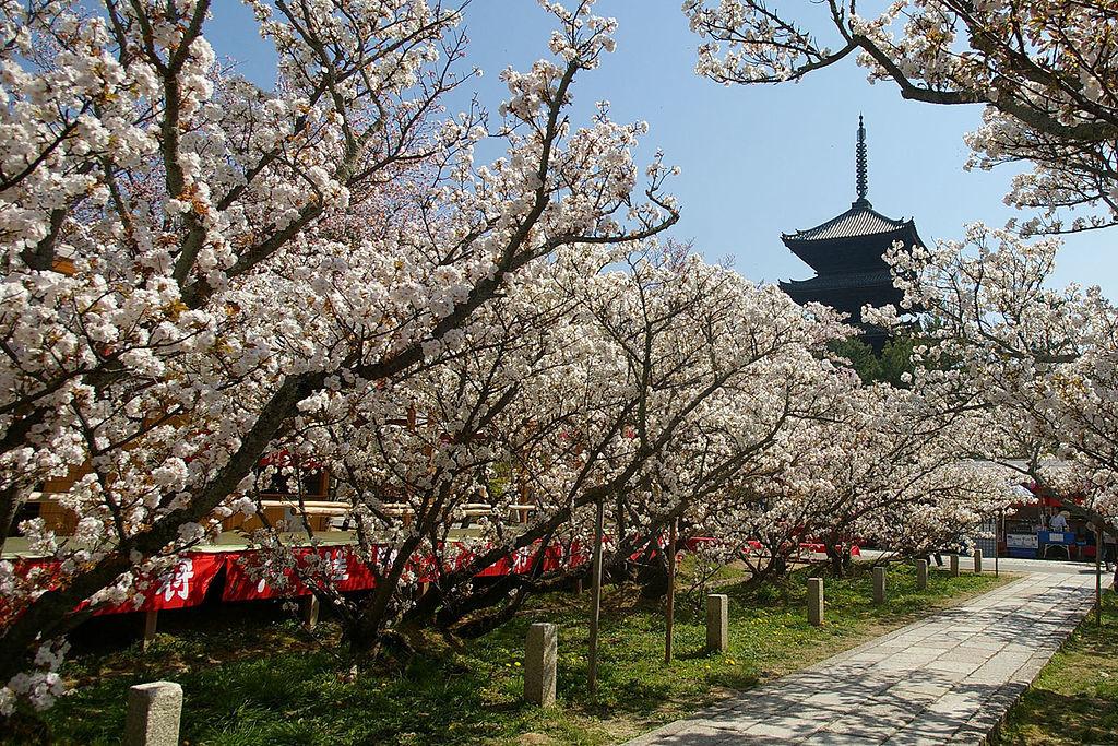 御室桜_3