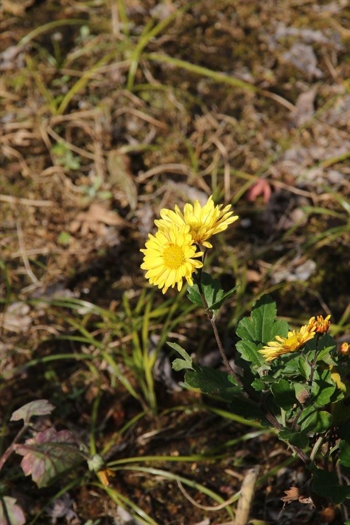 黄色の菊も咲いていた