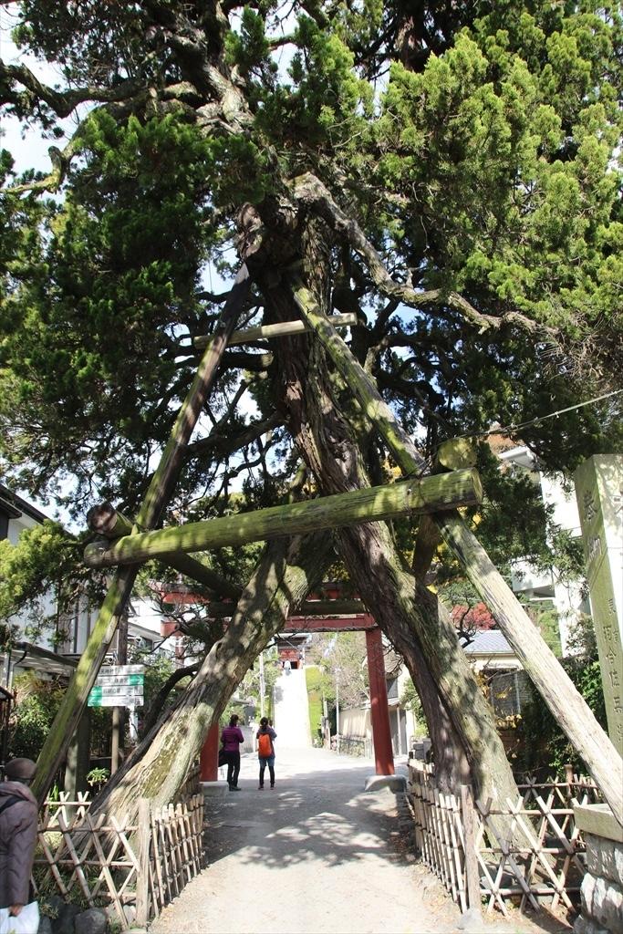 参道にある見事な樹木_2