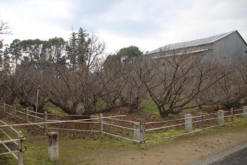 御室桜_1