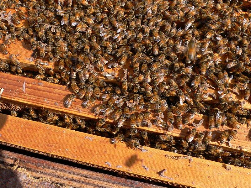 越冬中の蜜蜂(1月31日)