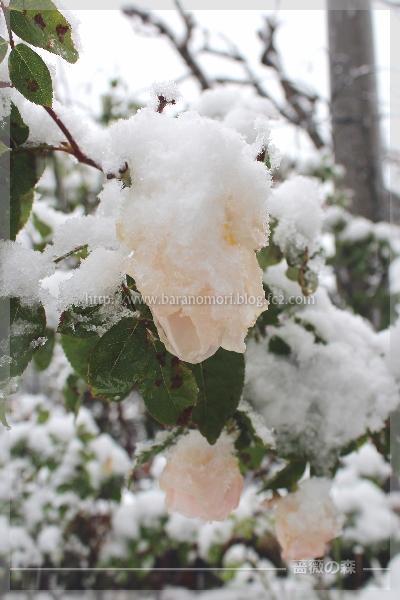 54年振り 11月の初雪 20161124 無農薬 バラ