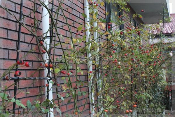 ローズヒップ バラの実 庭 20161206