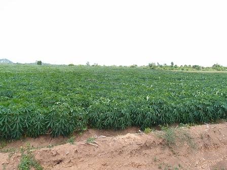 Cassava Farm
