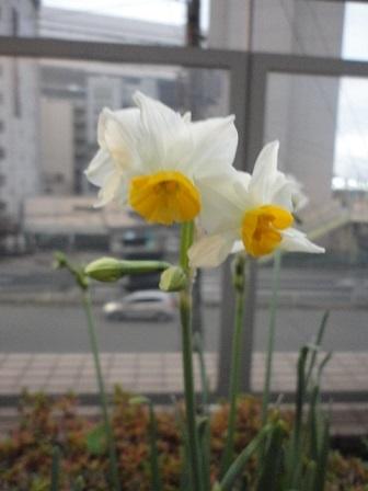 房咲水仙①