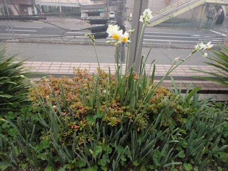 房咲水仙②
