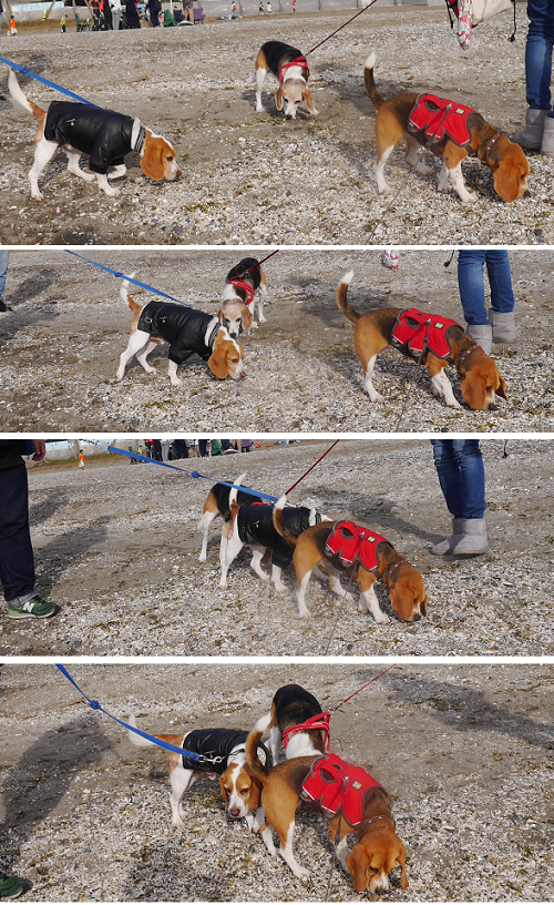 beagle formation