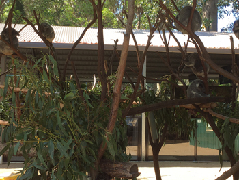 koala7.jpg