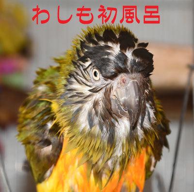 4_初風呂ネズミ