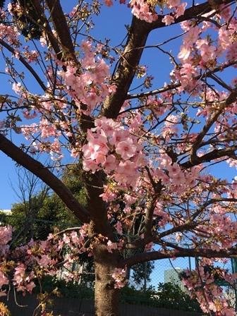 2017河津桜