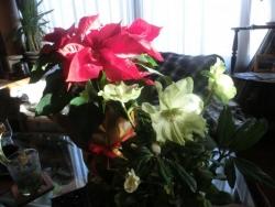クリスマス・ローズ(ニゲル)&ポインセチア