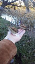 不忍池の雀たち