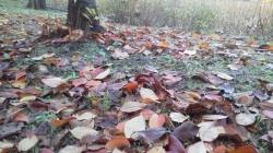 不忍池の落葉(桜)