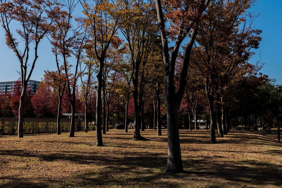 2016.11.05広阪アメリカ楓並木1