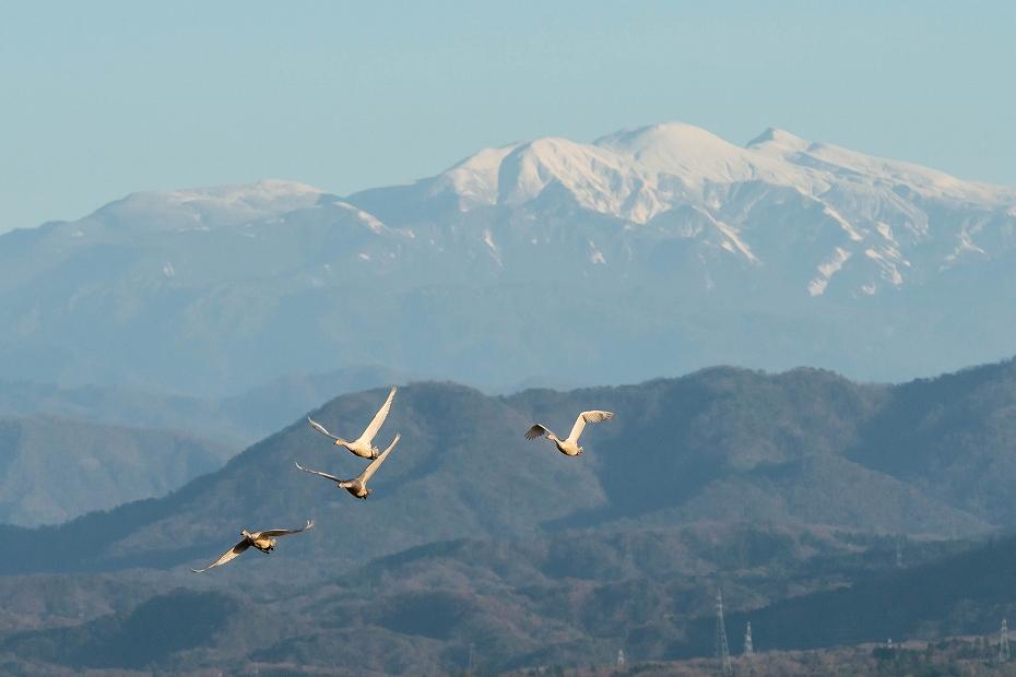 2016.12.02片山津のコハクチョウ2