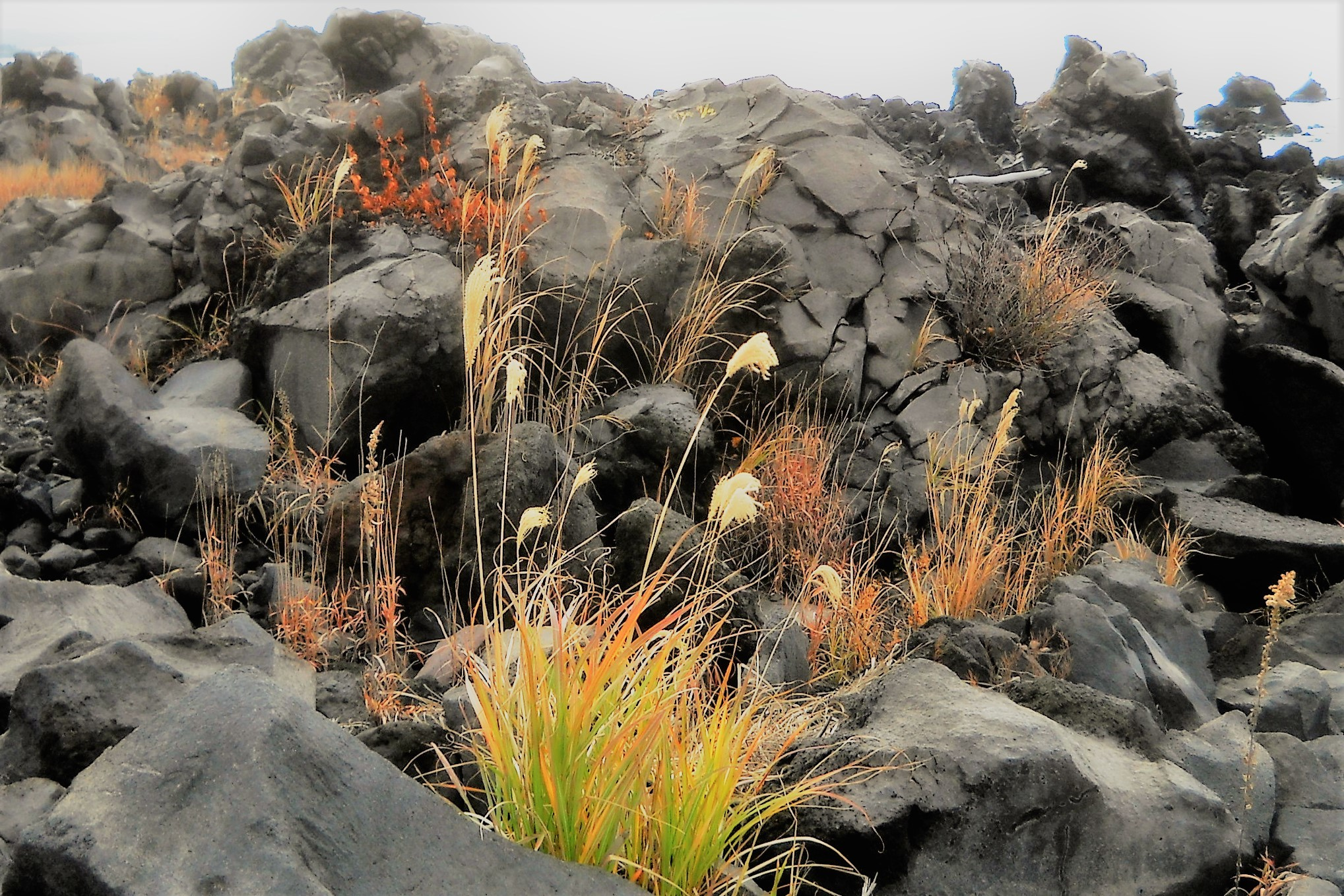 溶岩とススキ