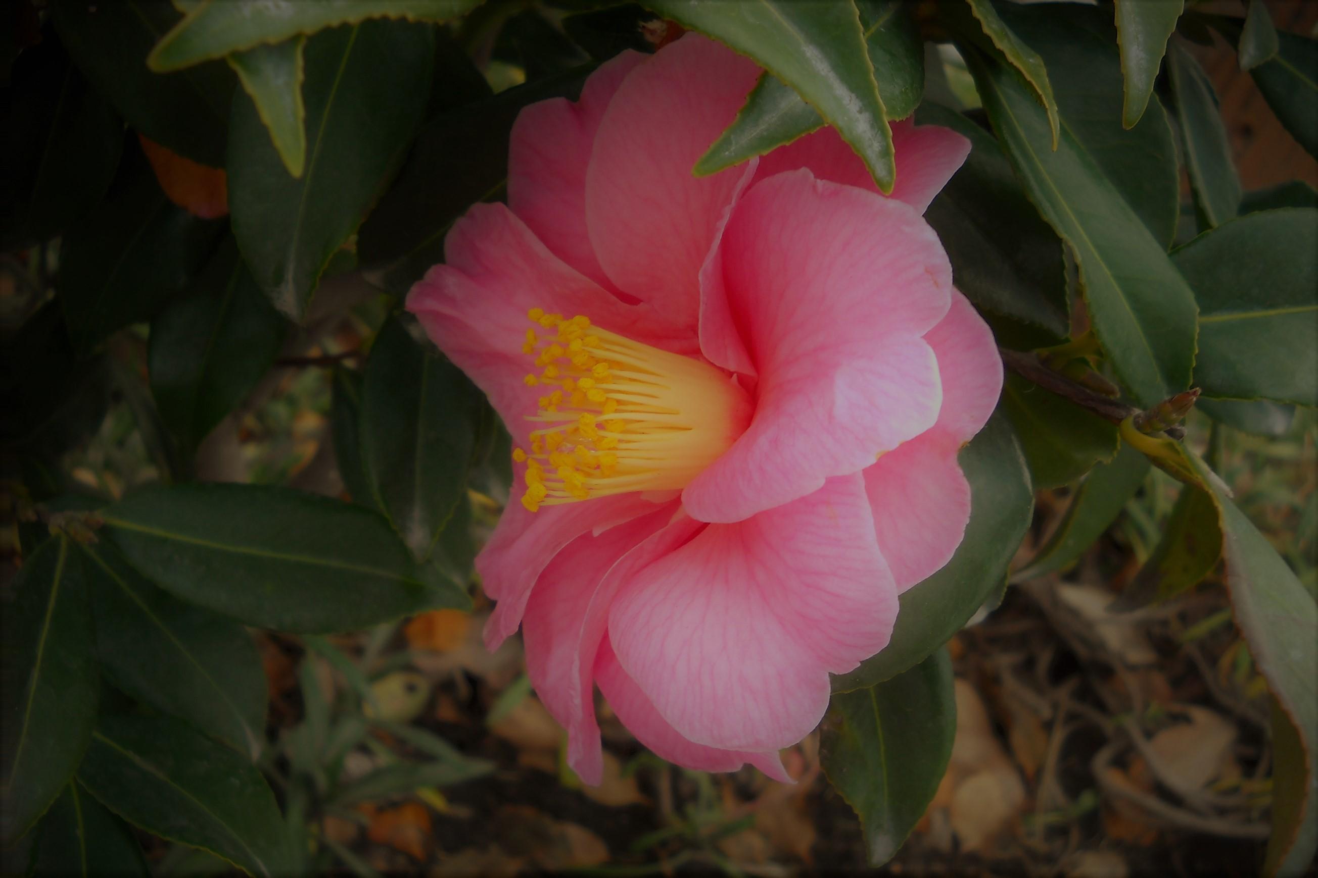山茶花 ピンク