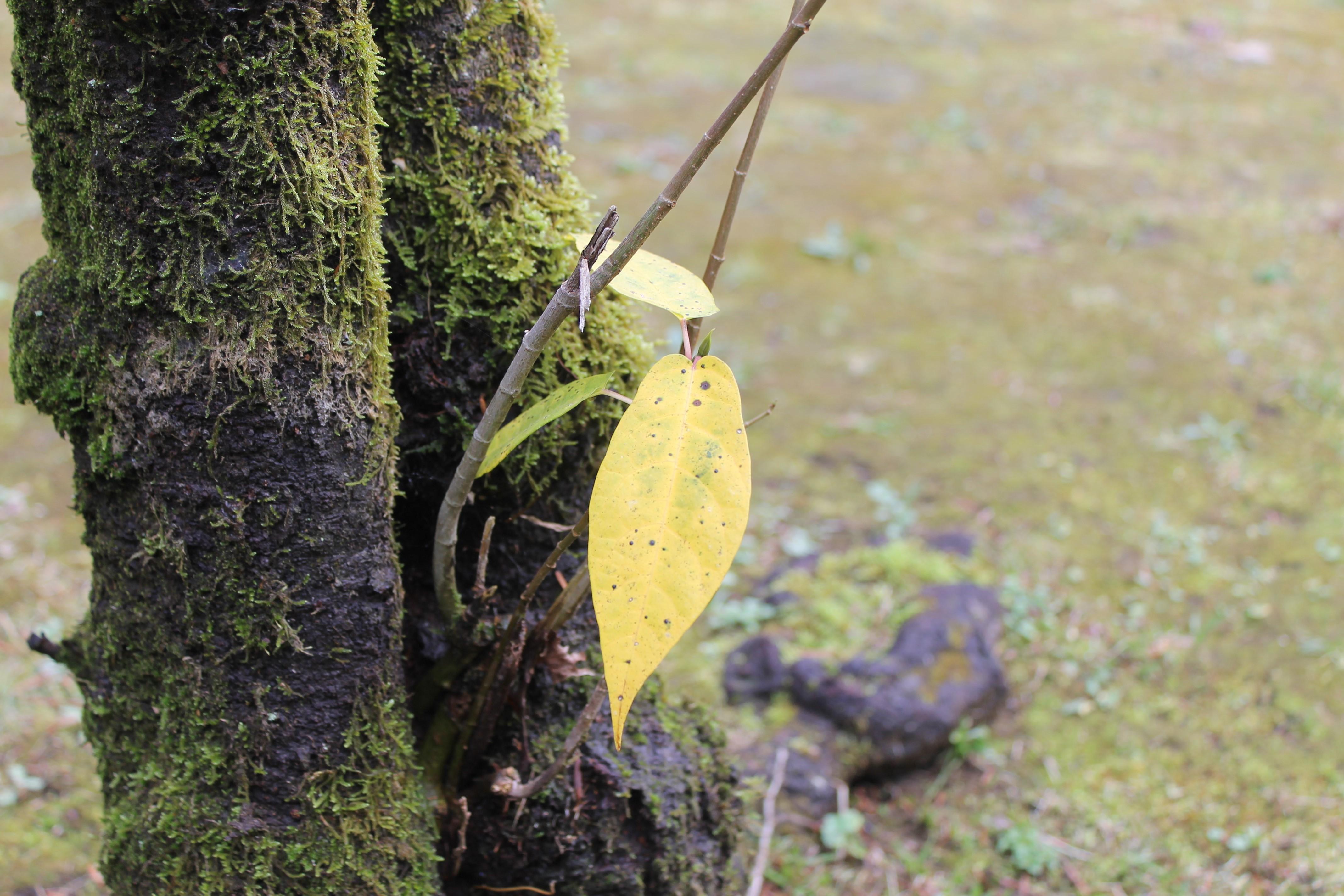 名残の黄葉