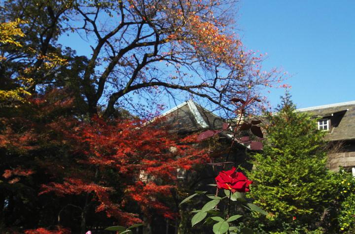 古河邸薔薇-884