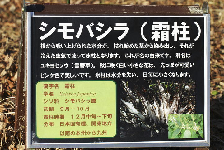 シモバシラの説明-109