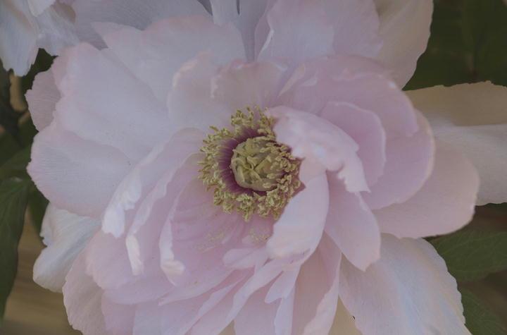 ピンクの牡丹-051