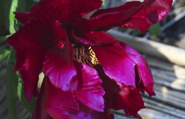 紅牡丹-096
