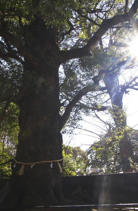 大楠の木-134