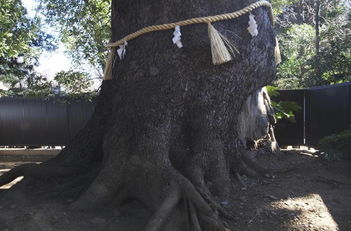 大楠の木-135