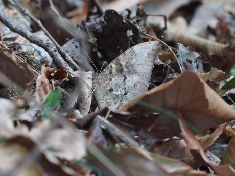 越冬クロコノマチョウ3