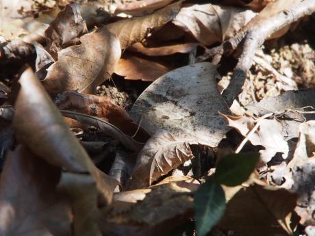 越冬クロコノマチョウ5