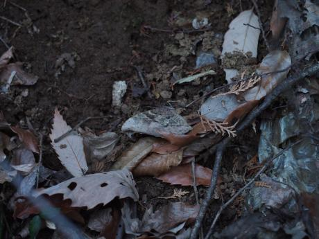 越冬クロコノマチョウ