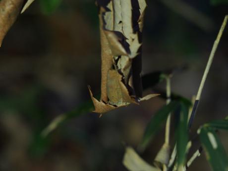 越冬ムラサキシジミ
