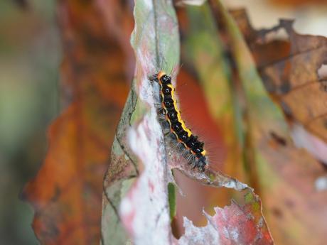 ゴマフリドクガ幼虫
