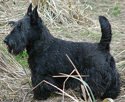 250px-ScottishTerrier.jpg