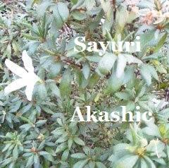2016年11月のつつじ アカシックレコードリーダーさゆり
